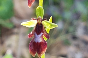 Ophrys mouche ou Ophrys insectifera