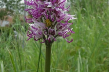 Orchis singe ou Orchis simia