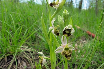 Ophrys bécasse ou Ophrys scolopax